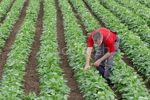 Farmer or agronomist in soy bean field examine plant Stock photo © simazoran