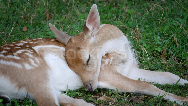 Young deer sleeping at grass  Stock photo © simazoran