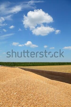 Rolnictwa pszenicy wole zbiorów chmury Zdjęcia stock © simazoran