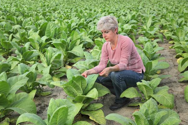 Farmer or agronomist inspect tobacco field Stock photo © simazoran