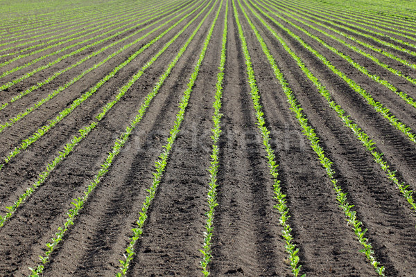 Agriculture, soy plant in spring Stock photo © simazoran