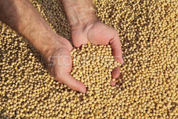 Rolnik utrzymać soja fasoli wole Zdjęcia stock © simazoran
