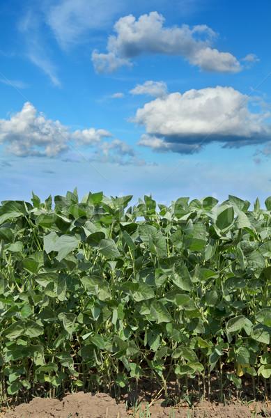 Mezőgazdaság szójabab mező szója növény kék ég Stock fotó © simazoran