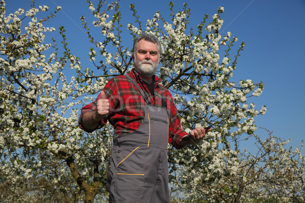 Farmer or agronomist in blossoming plum orchard Stock photo © simazoran