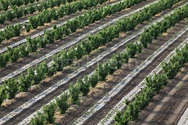 Hazelnoot boomgaard voorjaar luchtfoto bomen Stockfoto © simazoran