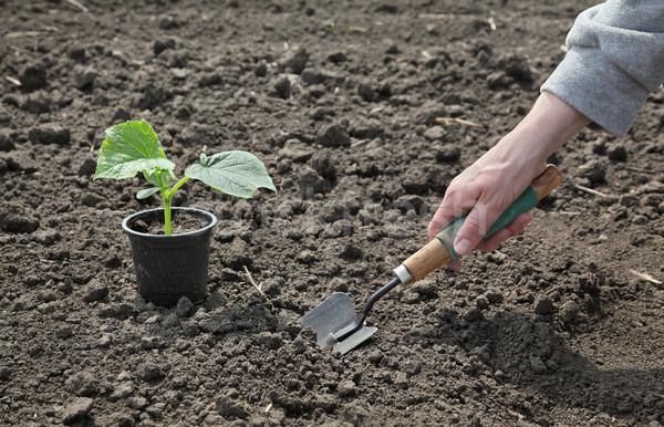 Agriculture, cucumber plant in spring Stock photo © simazoran