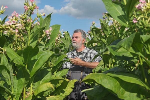 Gazda dohány mező virágzó növény virágok Stock fotó © simazoran