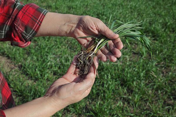 Agriculture, farmer examine wheat plant in field Stock photo © simazoran