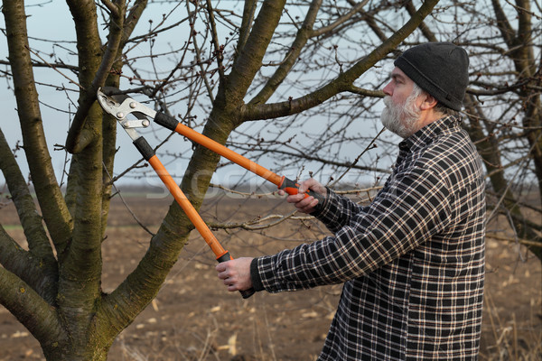 Agriculture, pruning in orchard, adult man working Stock photo © simazoran