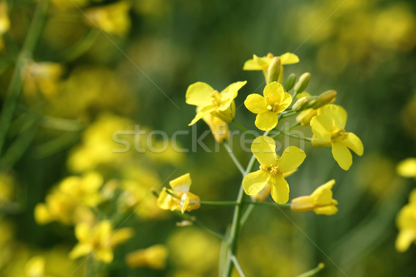 Rapeseed Stock photo © simazoran