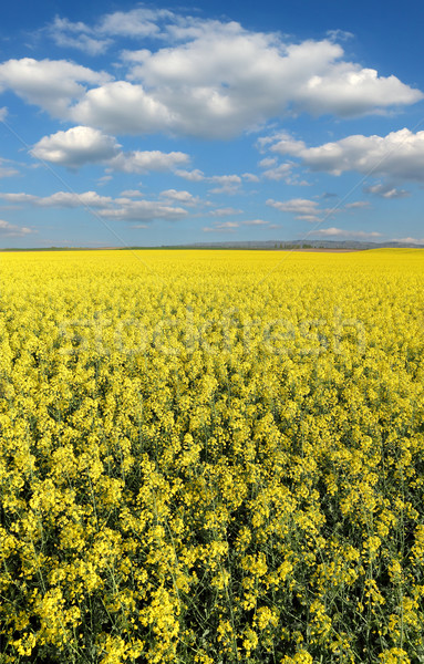 Blooming canola field in spring Stock photo © simazoran