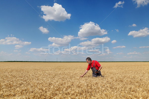 Farmer or agronomist inspect wheat field Stock photo © simazoran
