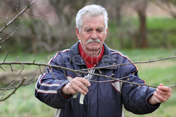 Stock photo: Agriculture, pruning in orchard, senior man working