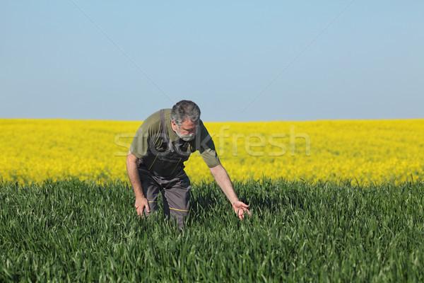 Agriculture, farmer examining wheat field with rapeseed plants i Stock photo © simazoran