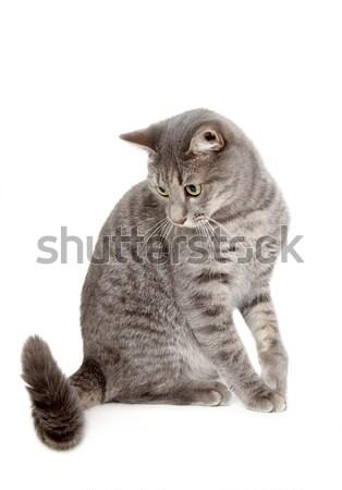 Házimacska keverék fajta házi szürke macska néz Stock fotó © simazoran