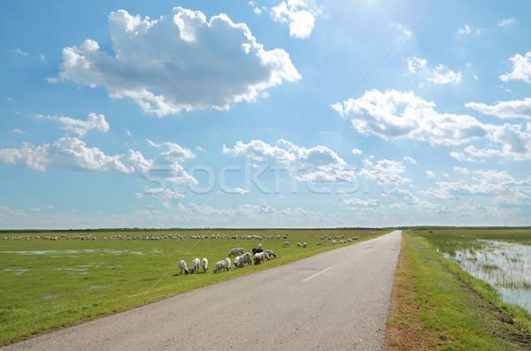 Wiejskie sceny stado owiec jedzenie trawy łące Zdjęcia stock © simazoran