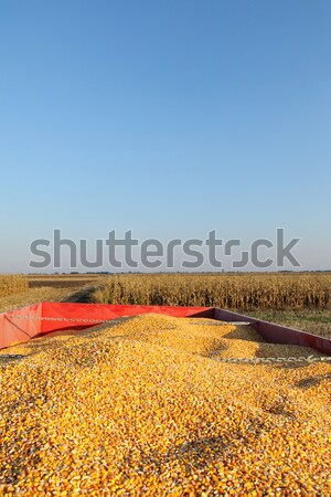 Agriculture, corn crop at trailer after harvest Stock photo © simazoran