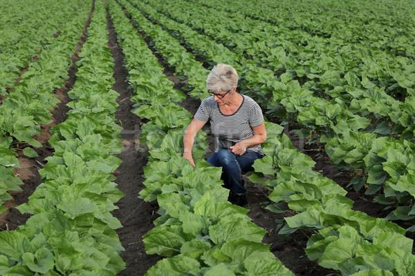 Agricultural scene, farmer inspecting sunflower  field using tab Stock photo © simazoran