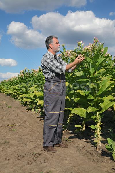 Landbouwer tabak veld plant bloemen Stockfoto © simazoran