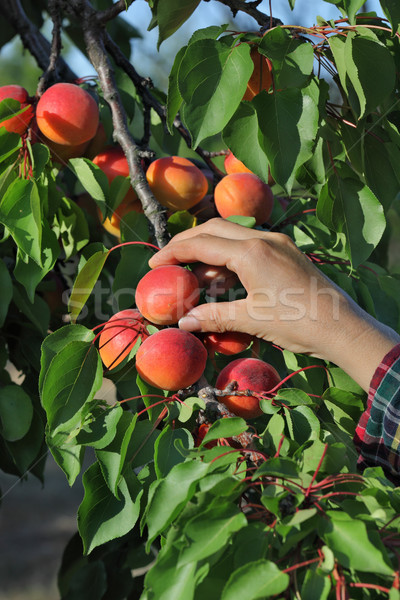 Farmer picking apricot fruit in orchard Stock photo © simazoran