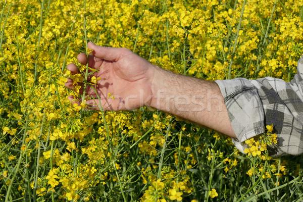 Farmer examining blossoming rapeseed field Stock photo © simazoran