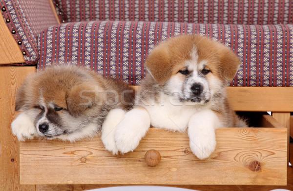 Akita pets Stock photo © simazoran