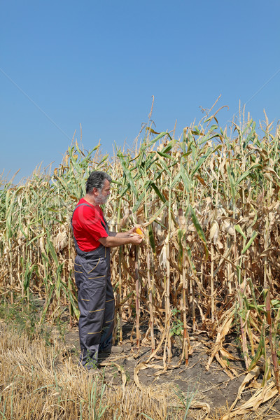 Agricultural scene, farmer or agronomist inspect corn field Stock photo © simazoran