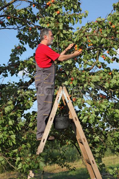 農家 はしご ピッキング アプリコット 成人 フルーツ ストックフォト © simazoran