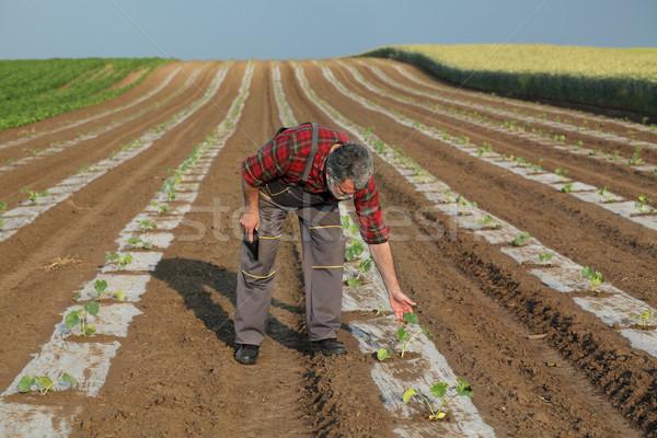 Agricola scena agricoltore melone campo impianto Foto d'archivio © simazoran