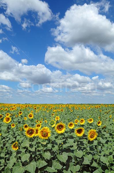Agriculture, sunflowers filed Stock photo © simazoran