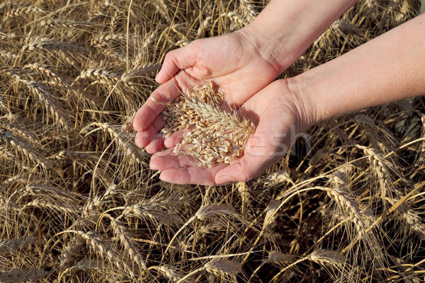 Agricultural concept, wheat in hands and field Stock photo © simazoran
