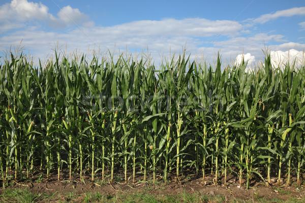 Corn plants in field in early summer Stock photo © simazoran