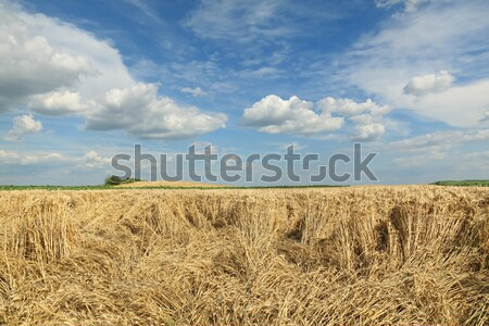 Agriculture, wheat harvest, damaged field Stock photo © simazoran