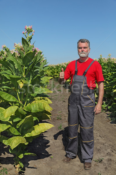 Stock photo: Farmer or agronomist inspect tobacco field
