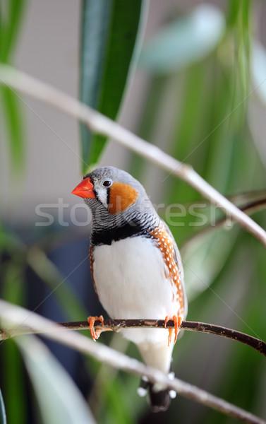 Pet bird Stock photo © simazoran