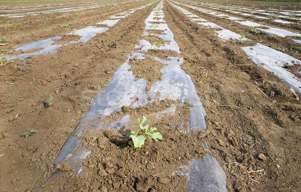 Agriculture Stock photo © simazoran