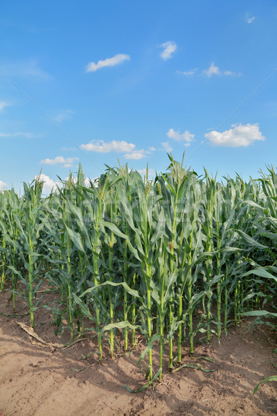 Farmland, corn field Stock photo © simazoran