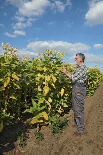 Farmer in tobacco field Stock photo © simazoran