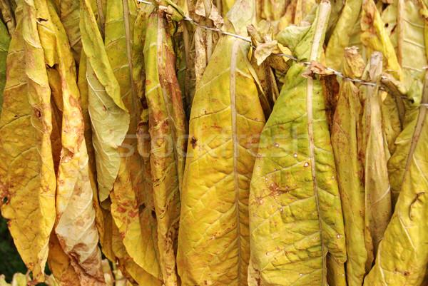 Tabaco naturales otono naturaleza cigarrillo caída Foto stock © simazoran