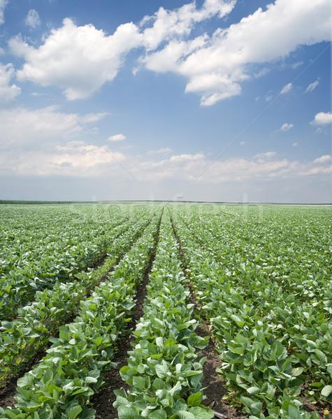 Szója mező zöld megművelt korai nyár Stock fotó © simazoran