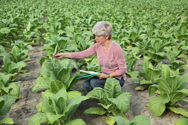 Jeans tabaco campo planta verde indústria Foto stock © simazoran