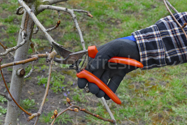 Agriculture, tree pruning in orchard Stock photo © simazoran
