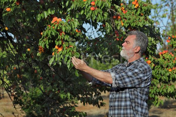 Farmer examining apricot fruit in orchard Stock photo © simazoran