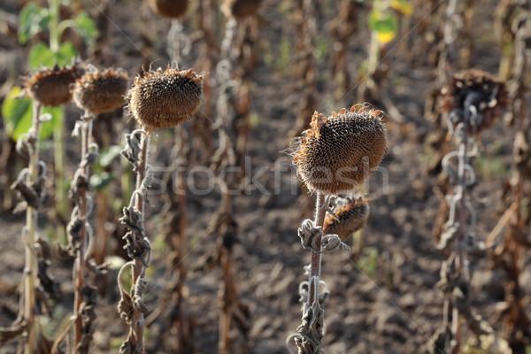 Klimaatverandering droogte natuurlijke ramp zonnebloemen veld Stockfoto © simazoran