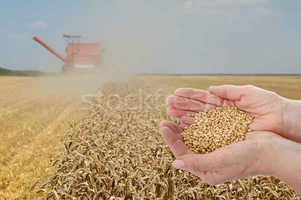 ストックフォト: 小麦 · 収穫 · 手 · 農家 · 品質