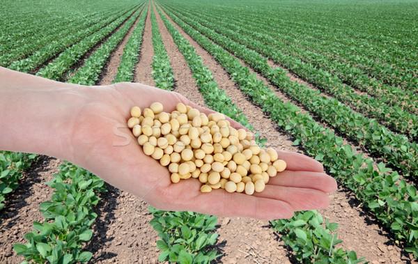 Mezőgazdaság szójabab emberi kéz tart mező étel Stock fotó © simazoran