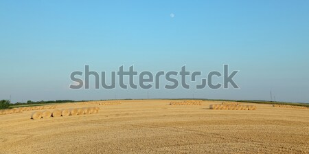 Wheat field after harvest with rolled straw Stock photo © simazoran
