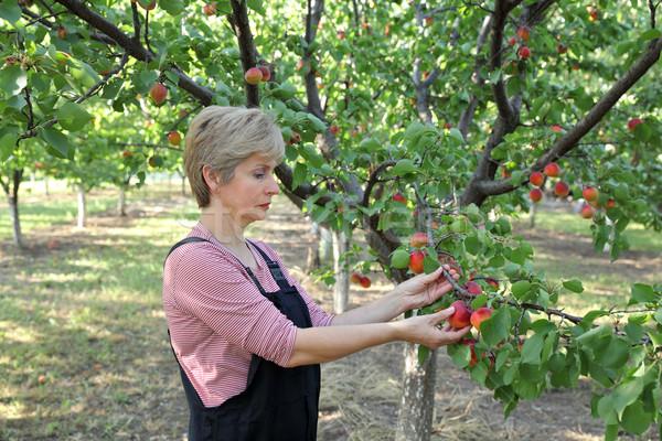 農業 女性 農家 アプリコット ピッキング ストックフォト © simazoran
