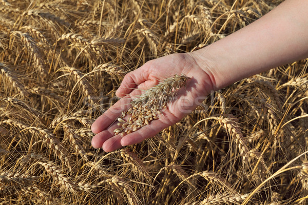 Agricultural concept, wheat in hand and field Stock photo © simazoran