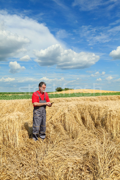 Stock photo: Agricultural scene, farmer or agronomist inspect damaged wheat f